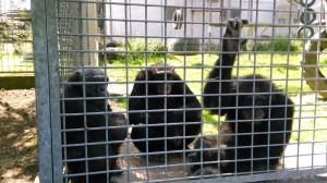 eine Schimpansen-Clique im Außengehege