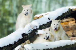 Polarwölfe im Schnee / Quelle: Tripsdrill / Wildparadies